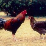鹿児島地鶏とは?