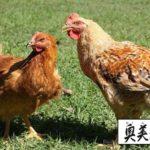 奥美濃古地鶏